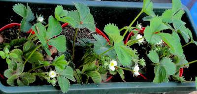 aardbeiplantjes